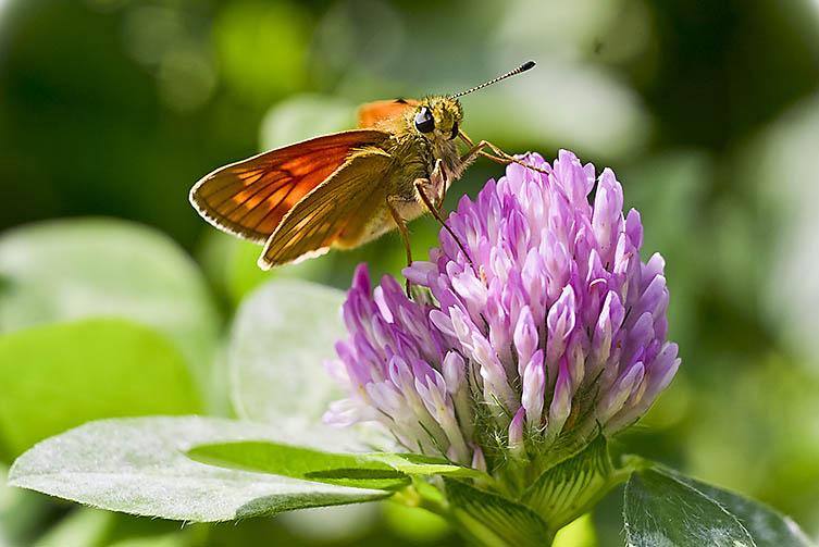 Papillon - © dochl - Fotolia.com
